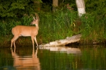 Deer in the River