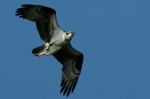 Osprey in flight carrying his lunch.